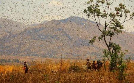 4000億隻來襲,蝗蟲蔽日如何生存自救?