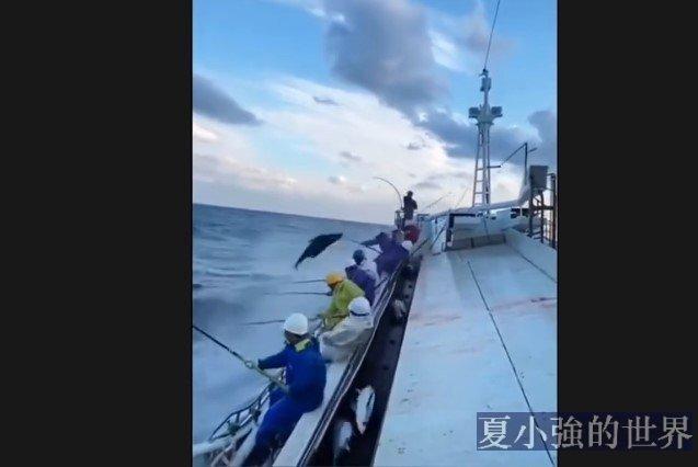 手釣金槍魚作業(視頻)