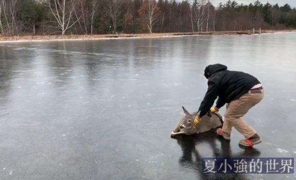 一個小哥發現一隻鹿被困在結冰的池塘中央(視頻)