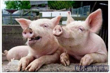 人類根本不懂豬!