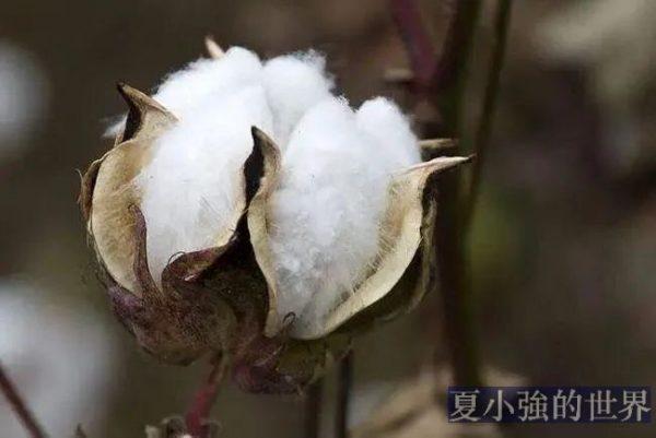 宋朝的棉花