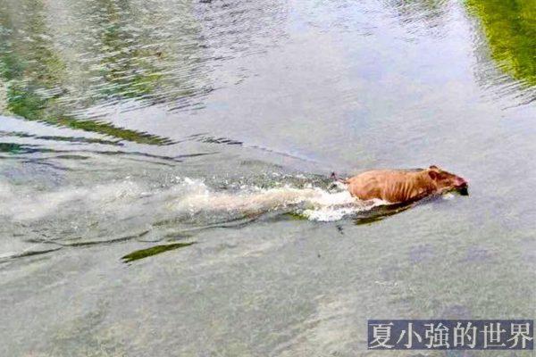 當野豬在南京狂奔