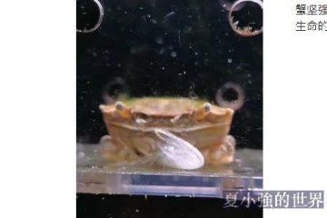 蟹堅強重生記(視頻)