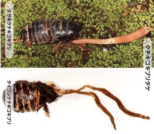 蟑螂殭屍是怎麼來的?