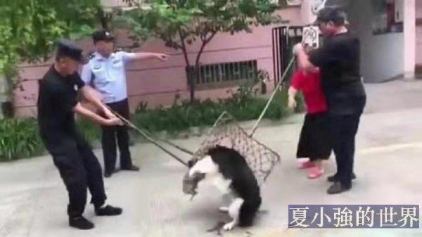 開始了!遛狗不栓繩的結果……(視頻)