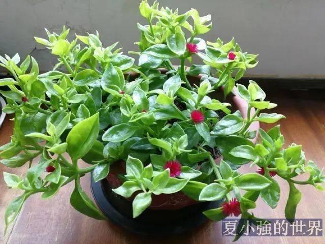 人養花,花養人,養花就選這四種,能吃能觀賞,還能泡茶喝